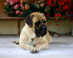 English Mastiff... I've always wanted one Love these dogs to death, such  great temperaments when raised right.