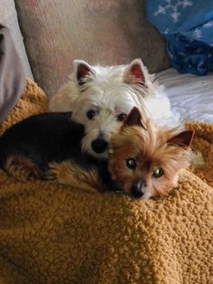 Westies love their other furry friends