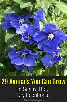 Keep your garden looking nice all summer long with annuals and perennials you can grow and do well in even the sunniest, hottest, driest places. Container Plants, Container Gardening, Gardening Tips, Flower Gardening, Morning Glory Flowers, Blue Morning Glory, Flower Garden Plans, Flowers Garden, Globe Amaranth