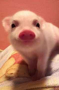 Epic 25 A Cute Little Piglet's https://meowlogy.com/2018/02/12/25-cute-little-piglets/ The animation is really good. It's a number of the very best animation in the film even though it is extremely stylized