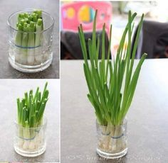 Never Ending Supply Of Green Onions. I am totally doing this (I LOVE green onions)! Trim most of the green, place white bases in water, and they will continue to grow. Change water every couple of days. Regrow Green Onions, Green Onions Growing, Growing Plants, How To Regrow Celery, Planting Green Onions, Regrow Vegetables, Organic Vegetables, Growing Vegetables, Gardening Vegetables