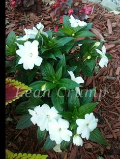 New Guinea Impatiens Planting Flowers, Plant Pictures, Plants, Flowers