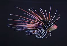 Pterois radiata, also known as the Clearfin Lionfish, is a carnivorous, ray-finned fish with venomous spines that lives in the Indian and western Pacific oceans.    It is the only lionfish species which has spines without any markings. It can also be recognized by the pair of horizontal white stripes on its tail
