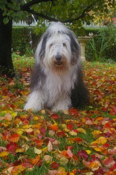 Autumn leaves old English sheepdog