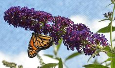 Gail Langellotto, associate professor of horticulture at Oregon State University, discusses challenges to survival faced by Pacific Northwestern pollinators, why Oregonians should care, and what can be done to help local pollinators.