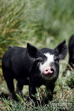 Country Style magazine. At his property nestled in the foothills of the Barossa Ranges in South Australia, Michael Wohlstadt of Barossa Heritage Pork raises rare-breed Berkshire and Tamworth pigs, fed with milk from his herd of Jersey cows. Photography Sharyn Cairns #countrystylemag #pig #farmanimal