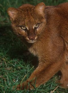 When you tell me I can't do something. Jaguarundi