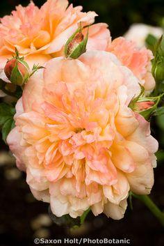 'Lawrence Of Arabia' ~ Samaritan | Floribunda, Hybrid Tea. English Rose. Bred by Harkness (United Kingdom, before 1998).