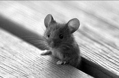 Adorable Mouse