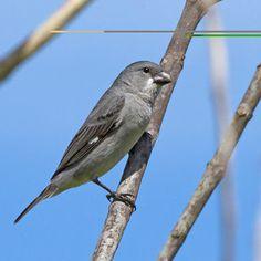 Plumbeous Seedeater - Argentina, Bolivia, Brazil, Colombia, French Guiana, Guyana, Paraguay, Peru, Suriname, and Venezuela   Brazilian Birds