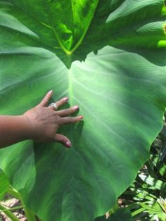 Growing Mammoth Elephant Ears - woman's hand on very large leaf Elephant Ear Flower, Elephant Ear Plant, Elephant Ears, Tropical Landscaping, Tropical Garden, Tropical Plants, Outdoor Plants, Outdoor Gardens, Outdoor Flowers