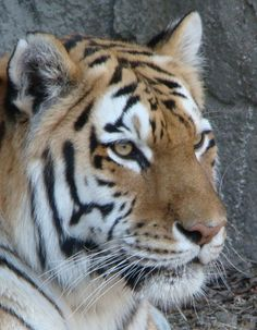 Taken @ Brookfield Zoo by cg. Brookfield Zoo, Here Kitty Kitty, Cute Animals, Cats, Norman, Chicago, Smile, Places, Sweet