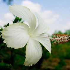 Flores blancas- hibisco