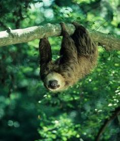 Ah, Explainer. No I hadn't wondered what sloth meat tastes like but now I know.