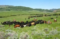 Cattle drive in Montana (Courtesy of Battle Creek Cattle Ranch)