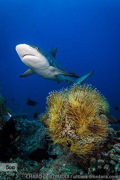 Grey shark by CharoGertrudix #underwater #500px