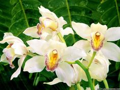 White Orchids Wallpaper