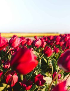 From April, Tulips in the Netherlands are most visited in Keukenhof, Lisse, or Amsterdam. Read about a location to see tulips for free without any tourists! Happy Flowers, Tulips Flowers, Tulip Fields Netherlands, Tulip Season, Secret Location, Tulip Bulbs, Black Tulips, Kinds Of Colors, Rainbow Colors