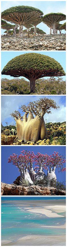 Dragos (Dracaena cinnabari) Isla de Socotra. Yemen