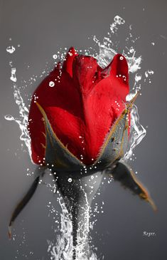 31 new Ideas for wall paper rosa rojas red roses Beautiful Flowers Pictures, Beautiful Flowers Wallpapers, Beautiful Rose Flowers, Flower Pictures, Amazing Flowers, Pretty Flowers, Good Morning Rose Images, Good Morning Roses, Rose Images Hd