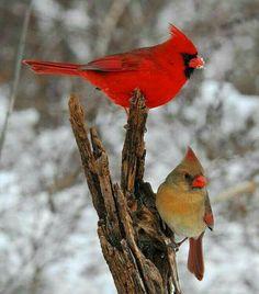 Mr and MRs Cardinal  bird card