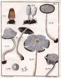 """Agaricus cinereus"" - Schaeffer, J.C. 1762, Fung. Bavar. Palat. nasc. 1: 1-100. Now known as: Coprinus cinereus (or Coprinus fimetarius, or a zillion other synonyms)"