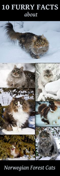 10 Furry facts about Norwegian Forest cats