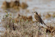 mis fotos de aves: Cinclodes fuscus Remolinera común Buff-winged cinc...
