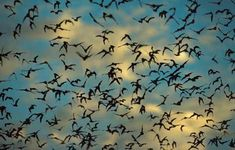 Amazing bats from Congress Street Bridge Austin Texas