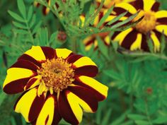 This little heirloom marigold has stunning yellow and burgundy striped single blooms. Very fancy and attractive looking on the dwarf plants.