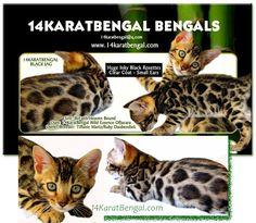 !4Karat Bengal Kitten Jagger - Huge Inky Black Rosetting - owned by Ruby - Phoenix