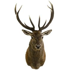 Hungarian Red Deer Shouldermount | From a unique collection of antique and modern taxidermy at http://www.1stdibs.com/furniture/more-furniture-collectibles/taxidermy/