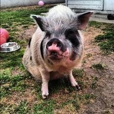 Oink Oink ~ our mini pot bellied pig client Beta!