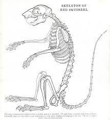 squirrel skeleton diagram google search bone stuff pinterest rh pinterest com Squirrel Organs Diagram Squirrel Bones