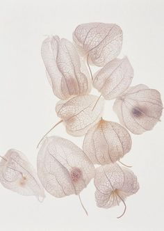 Chinese Lantern flower skeletons, always thought these were cool.  Poppy and I would break them open and reseed.