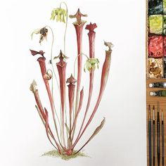 Sarracenia commission for . Plant Illustration, Botanical Illustration, Botanical Drawings, Botanical Prints, Plante Carnivore, Cactus Tattoo, Pitcher Plant, Carnivorous Plants, Watercolor Drawing