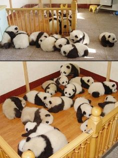 Typically pandas only have one pup per litter so how is this possible? Is someone cloning pandas? And who's going to raise this many pandas and where will thy live? Super Cute Animals, Cute Little Animals, Cute Funny Animals, Niedlicher Panda, Panda Love, Animal Pictures, Cute Pictures, Panda Mignon, Panda Lindo