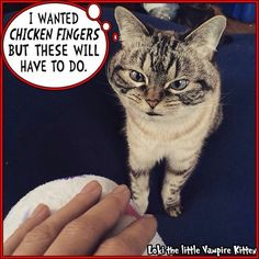 Another product of the Madman on Facebook  ##catstagram #catsagram #cat #cats #kitten #instacat  #catsofinstagram #catsoninstagram #pet #pets  #cute #cutecat  #instacat_meows #catoftheday #gato #cats_of_instagram  #derpy #vampirecat  #kittycat #catlover #ilovecats #animals #meow #instacute #photooftheday by loki_kitteh