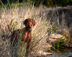 Vizsla. nothing more beautiful than the presence of a VIZSLA