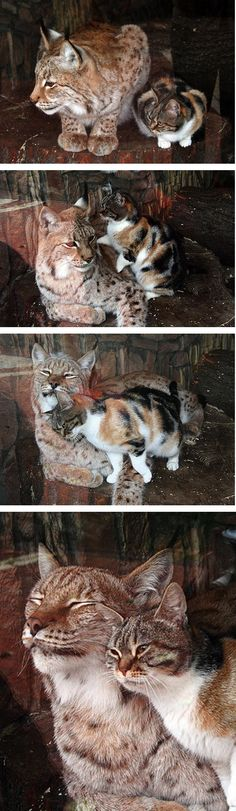 Stray Cat & Lynx Become Inseparable Friends - An European Lynx had a stray cat who came to visit her everyday at the Leningrad (St Petersburg) Zoo, the oldest zoo in Russia. The calico cat bonded with the Lynx on the first day they met. They have been inseparable since. The zoo adopted the cat so that she and her lynx friend could live together. Now they are living together at the Zoo. - VIDEO link in comments.