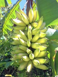 Banana Types Of Fruit, Fruit And Veg, Fruits And Vegetables, Jamaican People, Banana Plants, Tropical Fruits, Fruit Trees, Harvest, Exotic