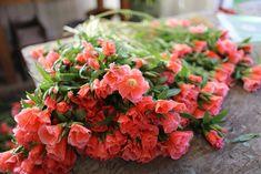 Succession Planting: How To Keep The Harvest Going All Season Long (Floret Flower Farm) Flowers For Sale, Long Flowers, Growing Flowers, Cut Flowers, Nothing But Flowers, Succession Planting, Cut Flower Garden, Cut Garden, Flower Farmer