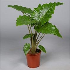 Alocasia 'Portora' or  'Portadora' house plant in 24cm pot.  Elephant Ears or Persian Palm. Approx 85cm tall