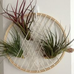 My take: Air plant arrangement using embroidery hoop and some twine. Easy to pull the plants out for watering.