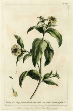 Philip Miller 1756:  The Gardener's Dictionary Rare Hand-Colored Copperplate Folio Engraving, BIDENS Pl. LXIV