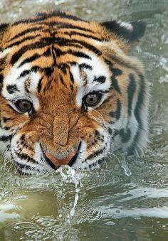 redwingjohnny:  siberische tijger Beekse bergen IMG_0830 by j.a.kok on Flickr.