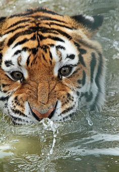 tiger  by j.a.kok on Flickr.
