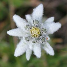 Alpen-Edelweiss (Leontopodium nivale subsp. alpinum)