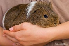 Why Do Guinea Pigs Bite? (How Hard & Ways To Stop them) – Guinea Pig 101 Guinea Pig Information, Pig Diet, Guinea Pig Run, Signs Of Depression, Best Bond, Living Alone, Happy Animals, Cheer Up, Pet Store