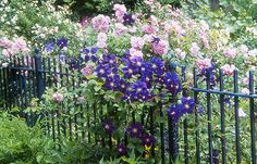 Plant roses and clematis together on a fence or trellis for a dramatic effect. The bloom times are also different so there will be color most of the season!